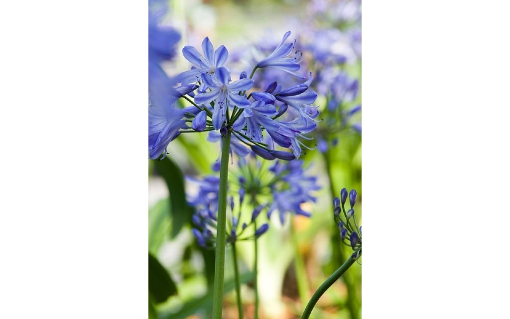 Afrikaanse lelie - Agapanthus 'Dr Brouwer'