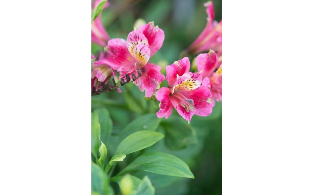 Incalelie - Alstroemeria 'Dandy Candy'