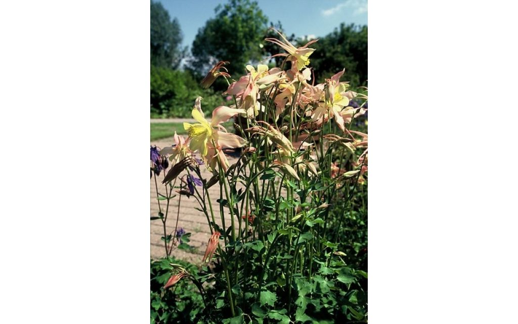 aquilegia yellow queen