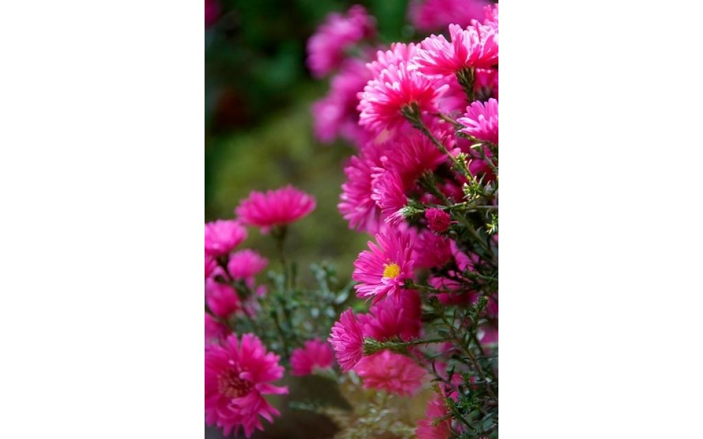 Aster - Aster alpinus Happy End