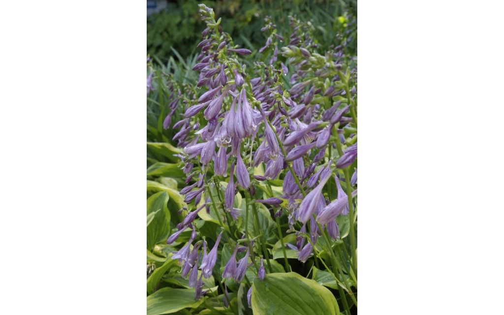 Hartlelie - Hosta Patriot