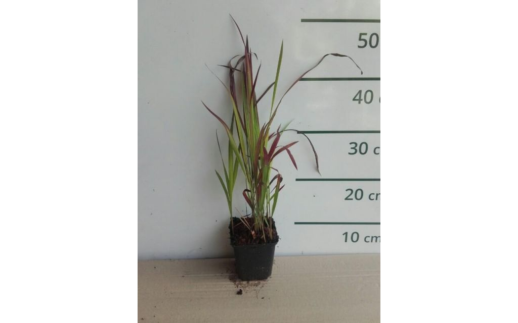 Japans bloedgras - Imperata cylindrica 'Red Baron'