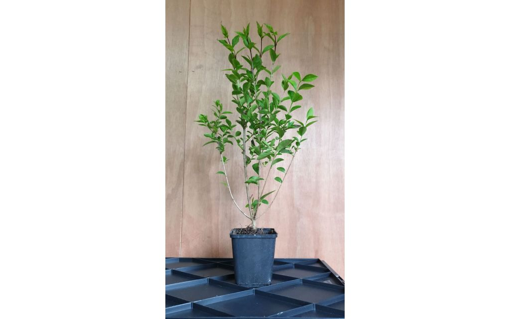 Liguster Ligustrum in pot