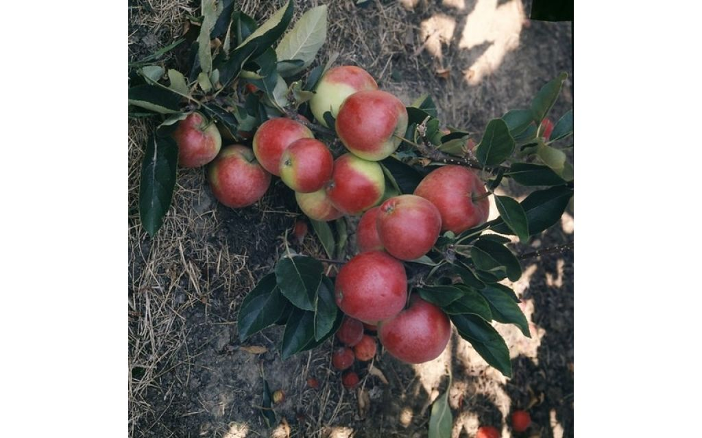 Appelboom - Malus d Gloster