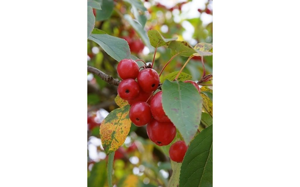 Malus 'Red Sentinel' - Rode sierappel - boom