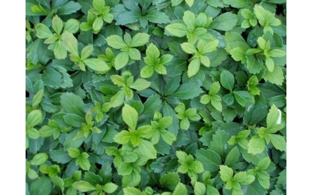 pachysandra green carpet