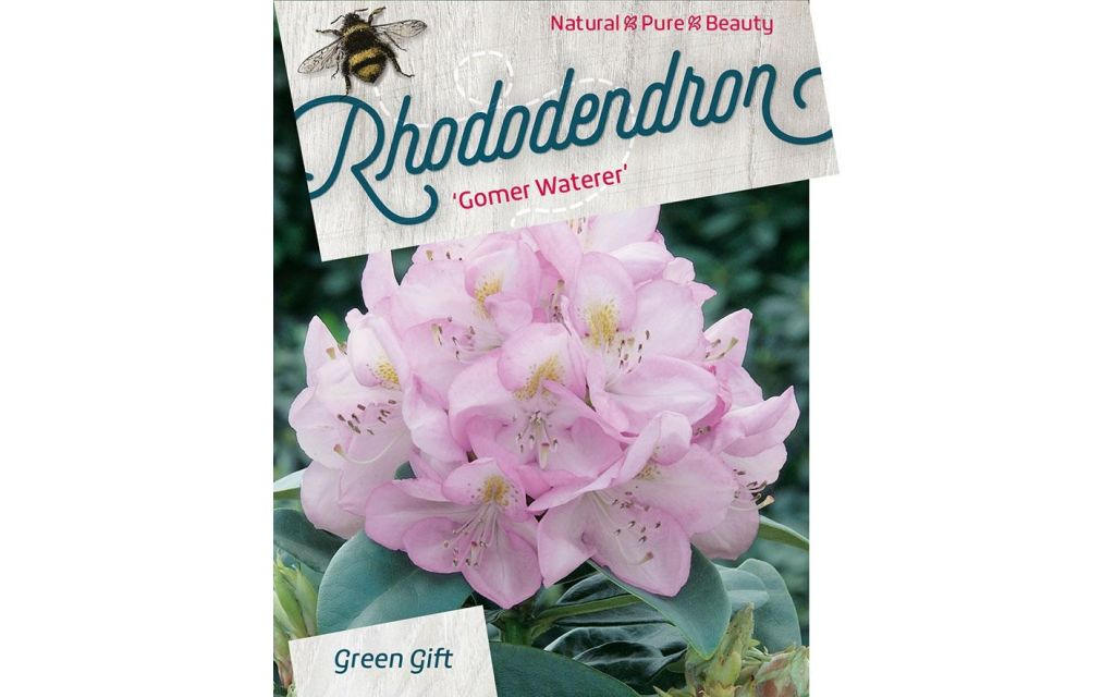 Rhododendron Gomer Waterer