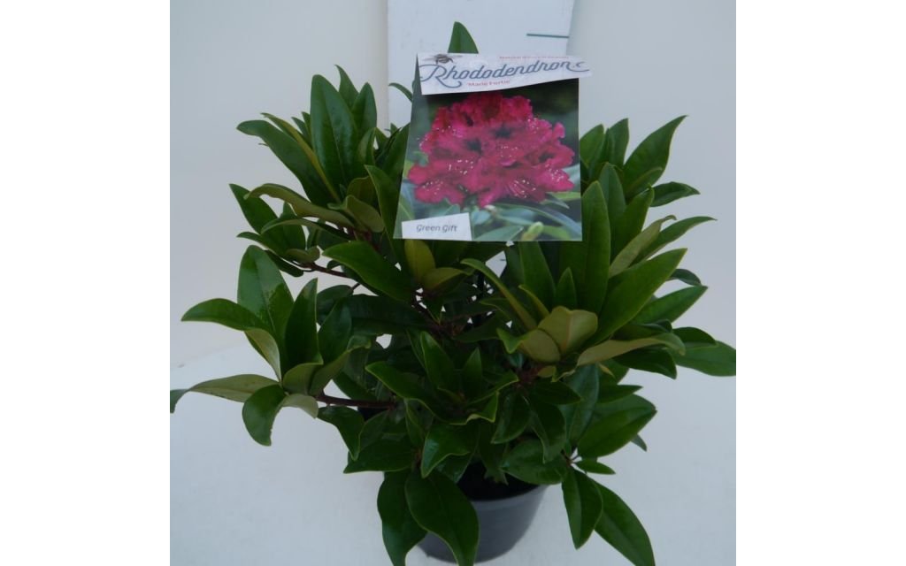 Rhododendron Marie Forte