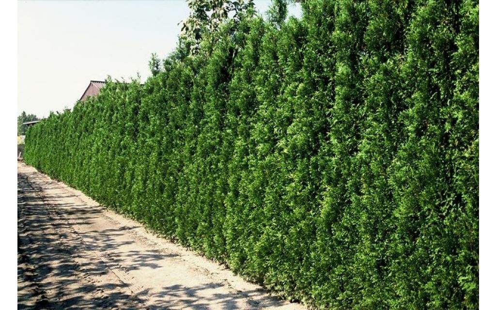 Thuja occidentalis Brabant - Levensboom