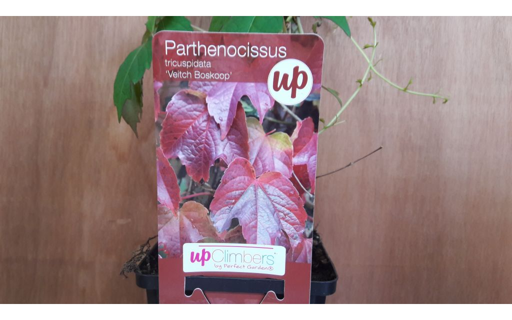 Parthenocissus 'Veitch Boskoop'