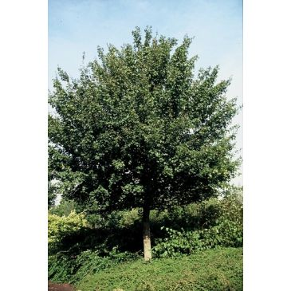 Acer campestre 'Elsrijk' - Veldesdoorn - boom