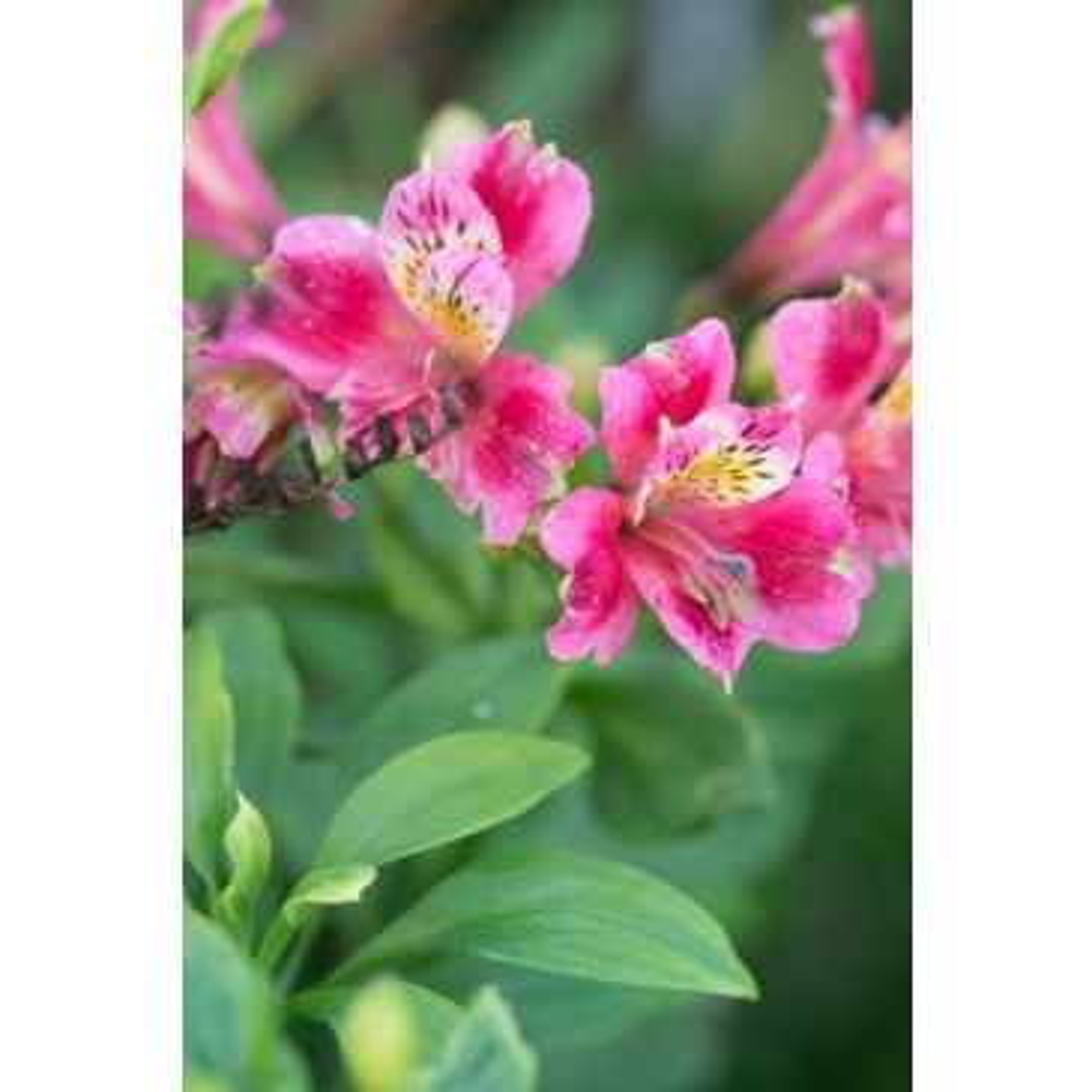Incalelie - Alstroemeria 'Dandy Candy'