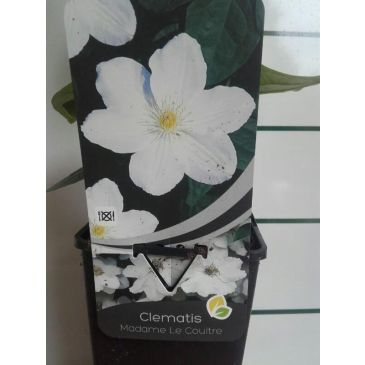 Bosrank - Clematis 'Madame Le Coultre'