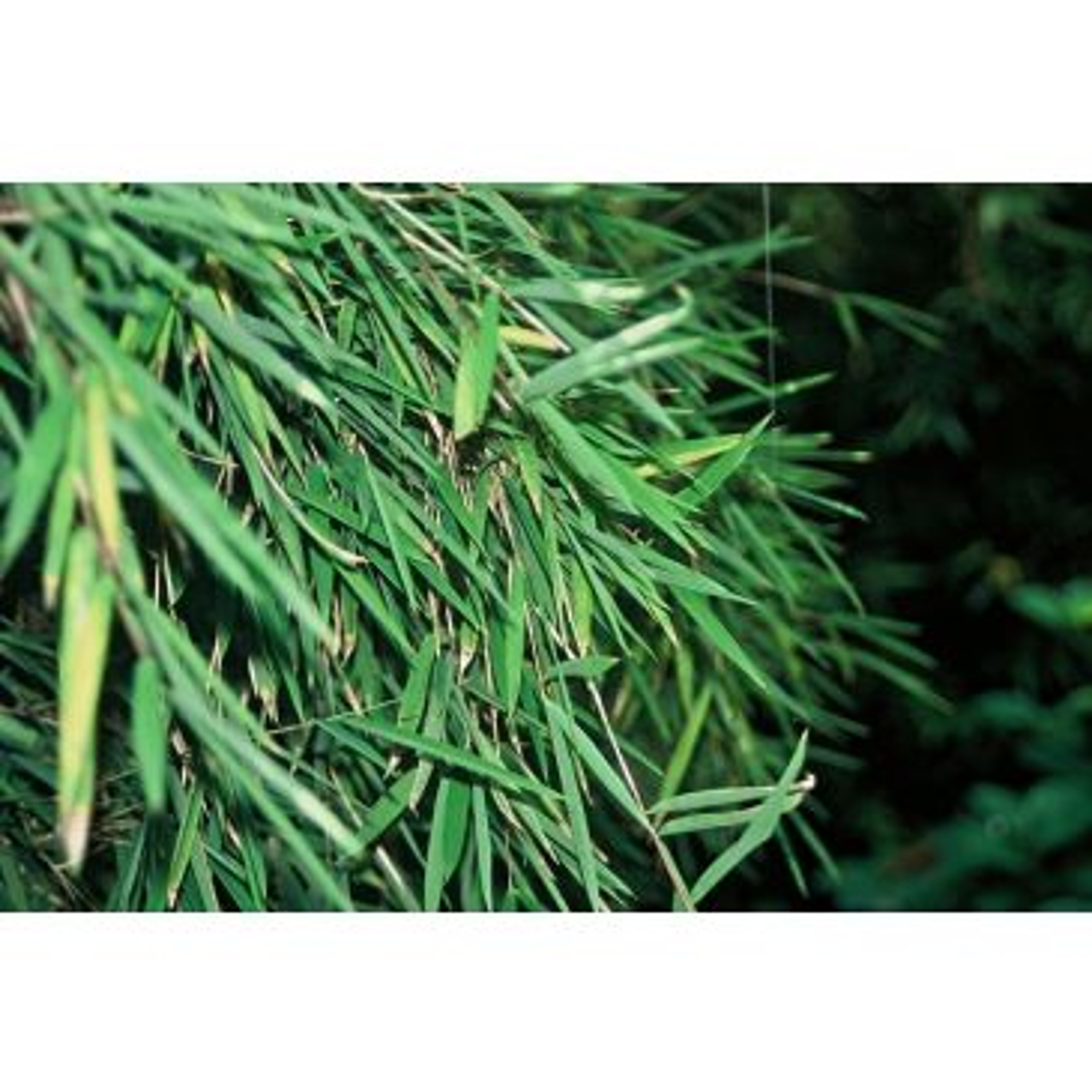 Niet woekerende bamboe - Fargesia Jiuzhaigou