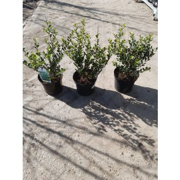 ilex green hedge