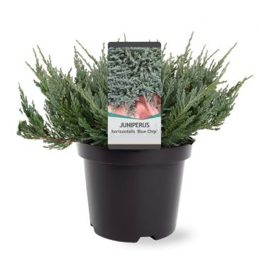 Juniperus horizontalis Blue Chip | Jeneverbes