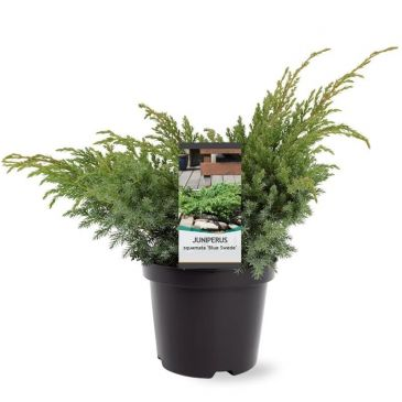 Juniperus squamata Blue Swede | Jeneverbes