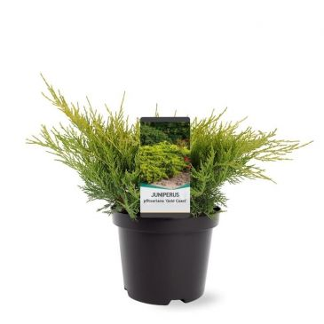 Juniperus pfitzeriana Gold Coast | Jeneverbes