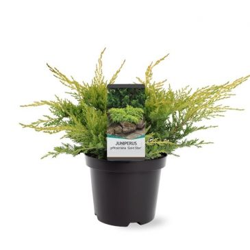 Juniperus pfitzeriana Gold Star | Jeneverbes