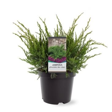 Juniperus pfitzeriana Mint Julep | Jeneverbes