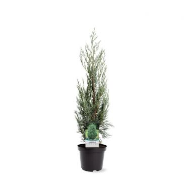 Juniperus scopulorum Moonglow | Jeneverbes