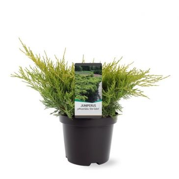 Juniperus pfitzeriana Old Gold | Jeneverbes