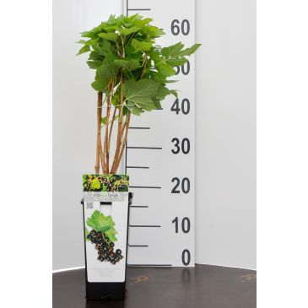 Zwarte bes - Ribes n. 'Titania'