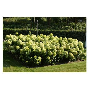 Hydrangea pan. Little lime