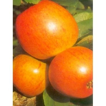 Appelboom - Malus d Golden Pearmain