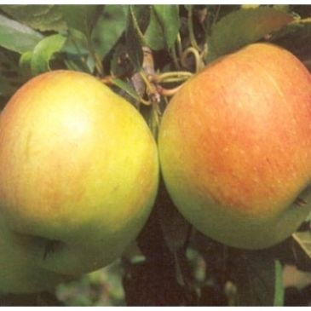 Malus James Grieve - Appelboom