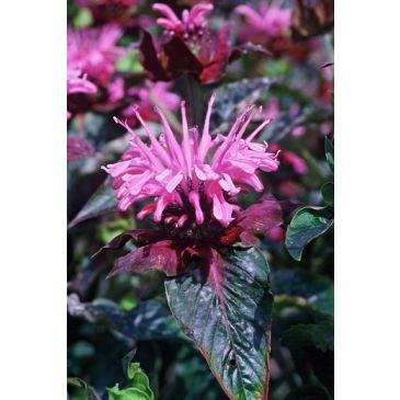 Bergamot - Monarda Beauty of Cobham