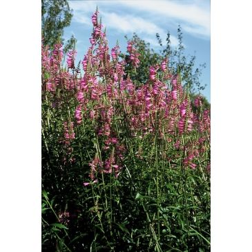 Scharnierplant - Physostegia virginiana Bouquet Rose