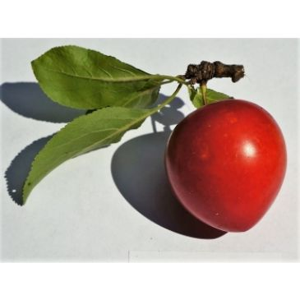Prunus 'Kroos Sara'
