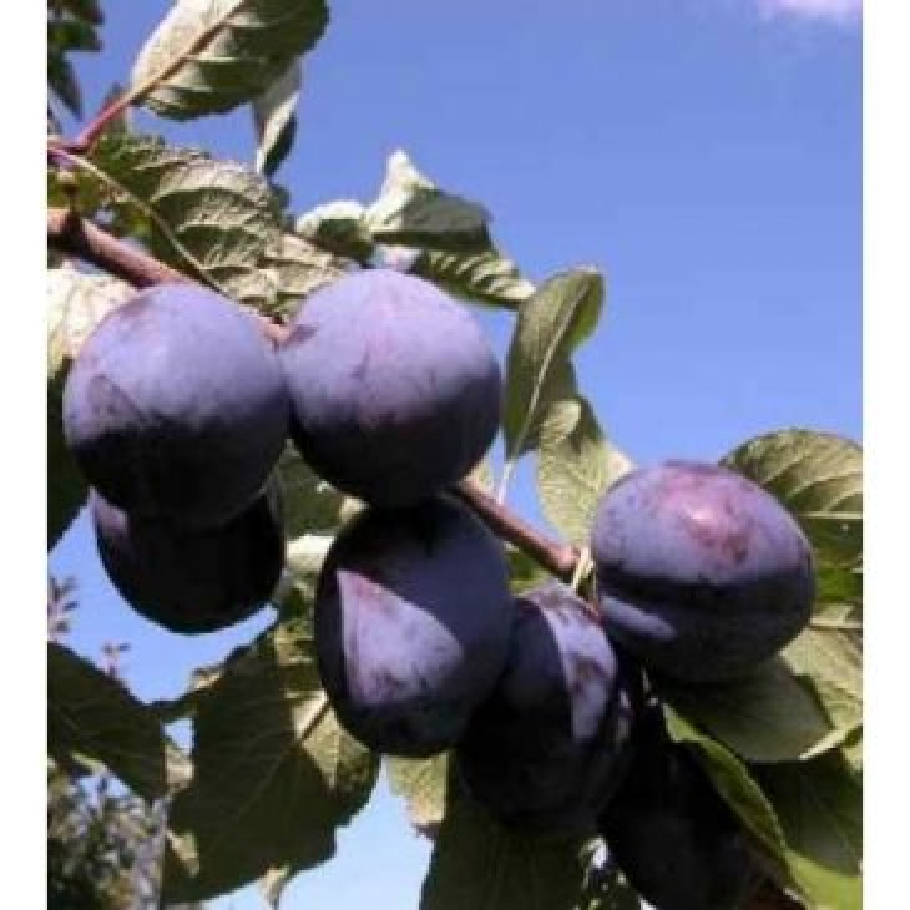 Pruim - Prunus d. 'President'