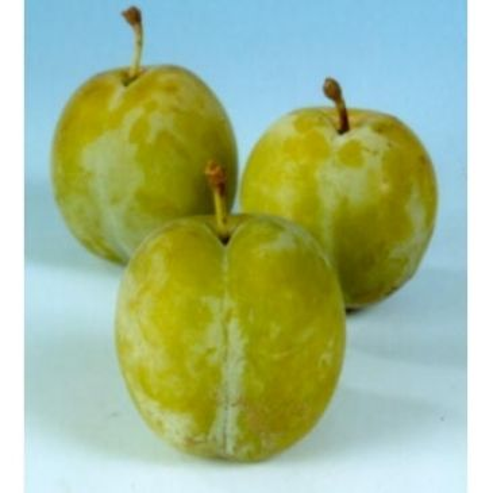 Prunus d. 'Reine Claude d'Oullins' Witte eierpruim