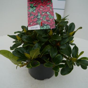 Dwergrhododendron - Rhododendron 'Bengal'