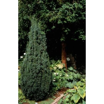 Taxus media 'Hicksii'