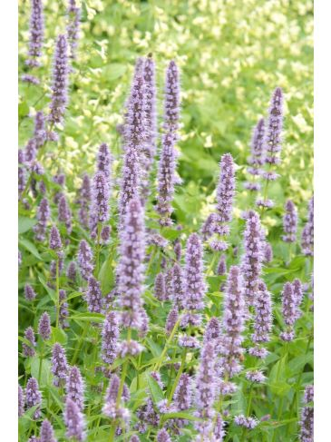 Dropplant - Agastache 'Black Adder'