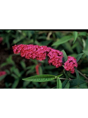 Buddleja davidii 'Royal Red' - Vlinderstruik