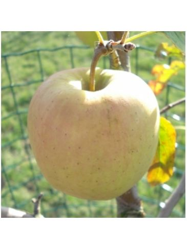 Malus d. 'Golden Delicious' Handappel