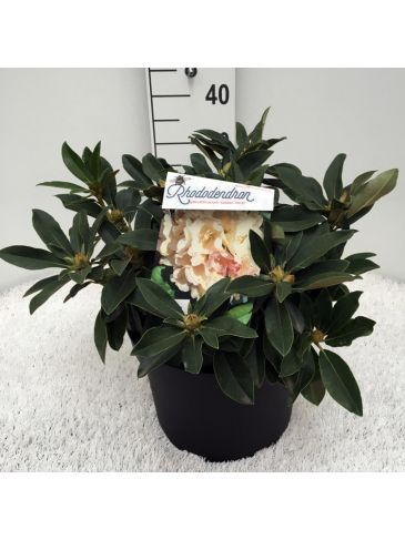 Rhododendron (y) Golden Torch