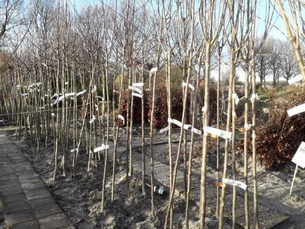 Opgekuilde bomen kopen in de winter