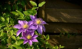 Met de klimplanten uit onze planten webshop krijgt uw tuin een mooie natuurlijke uitstraling